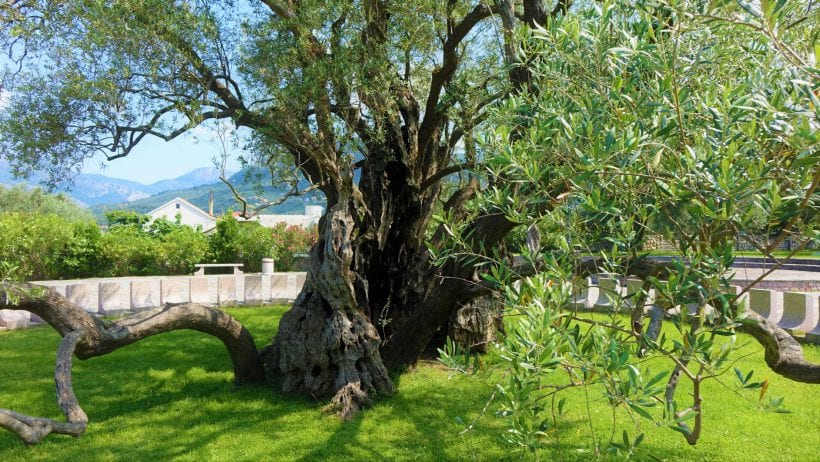 עץ זית עתיק, מונטנגרו צילום ספיר פרץ זילברמן