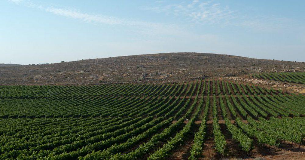 כרמים במטה יהודה, צילום: שחר כהן